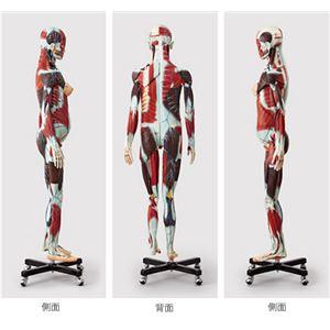 人体解剖模型 【女/等身大100分解】 精密度模型 神経・脈管系表示 カバー付き J-101-1