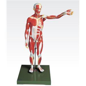 人体筋肉模型 【3分解】 右腕・左腕とりはずし可 J-111-3