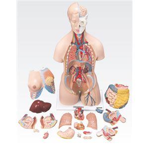 トルソ人体模型/人体解剖模型 【20分解】 J-112-0