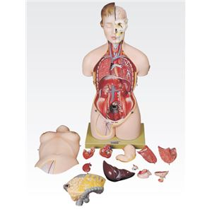 トルソ人体モデル/人体解剖模型 【13分解】 J-113-0