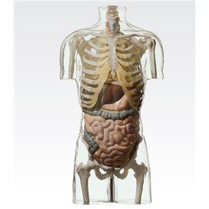 透明トルソ/人体解剖模型 【消化器系人体モデル】 等身大 1体型モデル J-113-4