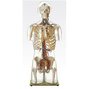 透明トルソ/人体解剖模型 【循環器人体モデル】 等身大 1体型モデル J-113-5