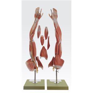 上肢模型/人体解剖模型 【6分解】 等身大 J-114-8