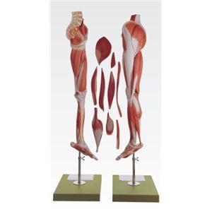 下肢模型/人体解剖模型 【10分解】 等身大 J-114-9