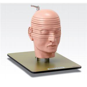 頭部水平断模型/人体解剖模型 【12分解】 J-118-0