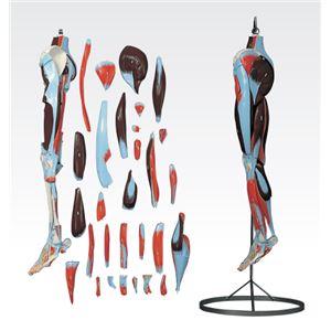 下肢模型/人体解剖模型 【30分解】 J-119-2