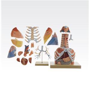 胸部解剖模型/人体解剖模型 【17分解】 等身大 J-125-0