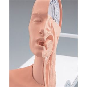 嚥下のメカニズム模型(看護実習モデル) 解剖部位明示透明カバー付き M-163-0